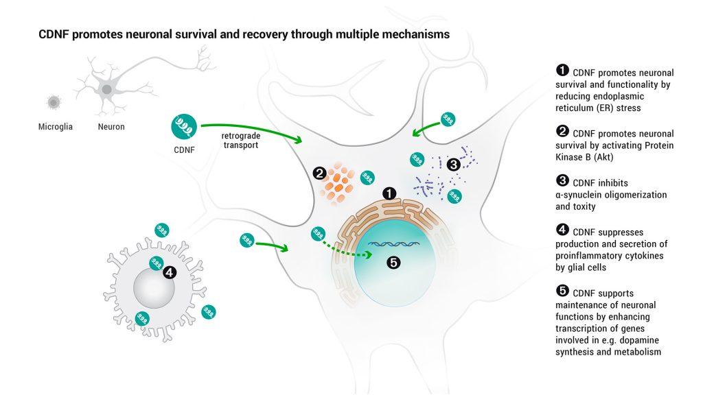 CDNF promotes neuronal survival and recovery through multiple mechanisms